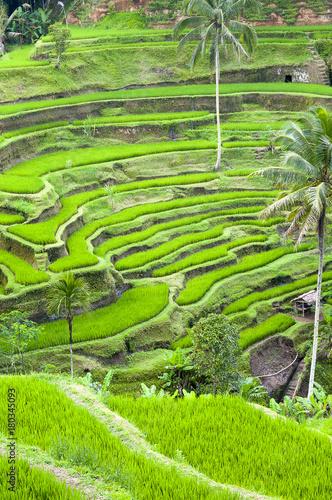 Tuinposter Rijstvelden tarasy ryżowe