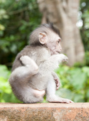 makak jawajski