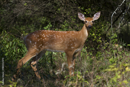 White-tailed deer fawn at the edge of a forest плакат