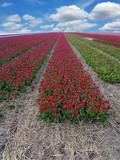 Tulpen Blüte im Freiland - 180353670