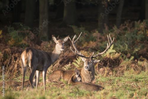 Fotobehang Hert Autumn landscape image of red deer cervus elaphus in forest woodland