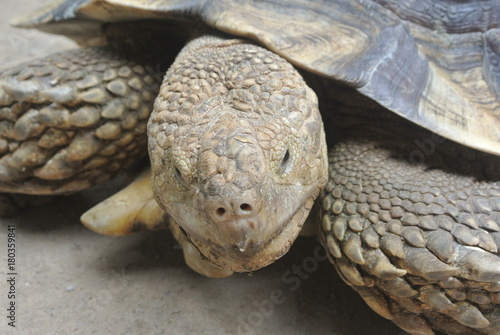 Aluminium Schildpad Giant turtles in a large enclosure. Released free as a pet.