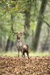 Fallow deer buck in forest in fall season.