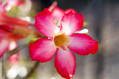 Plexiglas Azalea Pink Azalea flowers pattern background