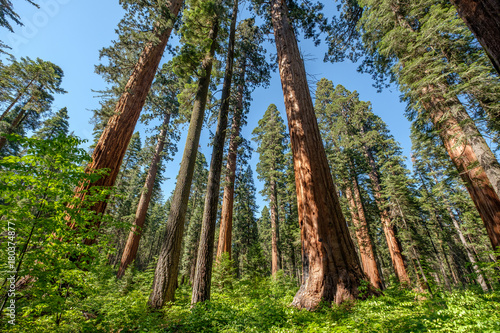 Sequoia tree in Calaveras Big Trees State Park - 180374877