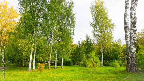 Papiers peints Bosquet de bouleaux Park of nature