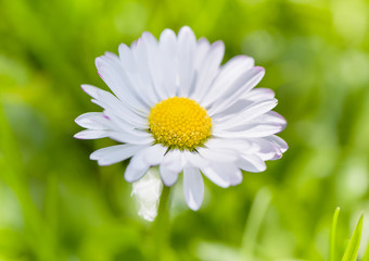 Close-up of daisy flower on meadow. Bright natural green background