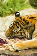 Tiger eating 01