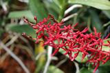 Fototapety Orchideen-Hybride Renanthera Singaporeans