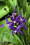 Fototapety Orchideen-Hybride Aranda Wan Chark Kuan