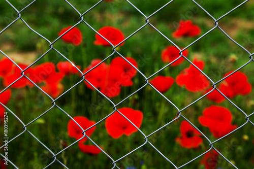 Foto op Plexiglas Klaprozen Field of red opium poppies behind metal fence net. Iron grid protects field of opium poppy. Beautiful flowers of red opium poppies. Poppy field is guarded behind grid of fence