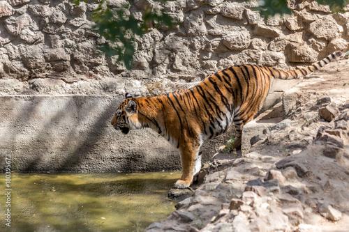 Fotobehang Tijger Ussuri Bengal tiger in a cage zoo created natural habitat. Wild predatory mammals in the summer park. Large predatory cats. Motion blur. Selective focus