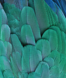 Blue Feathers of a Macaw Parrot