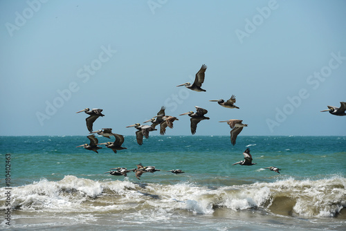 Pelican flying in formation Poster