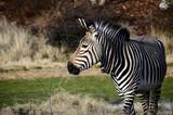 Black and white Zebra in zoo, France