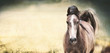 Brown horse with a white stripe on the face at nature background, banner or template - 180420243