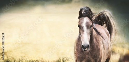 Brown horse with a white stripe on the face at nature background, banner or template