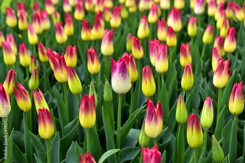 Fotobehang Tulpen On the field grow tulips. A large number of tulips. A beautiful bouquet of tulips. Growing flowers.