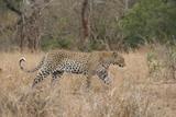 Leopard, Kruger National Park, South Africa, Africa
