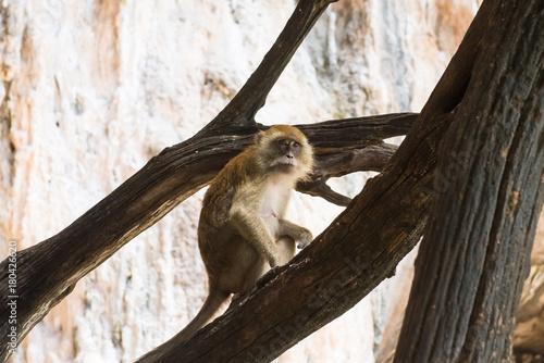 Fotobehang Aap One macaque monkey on tree
