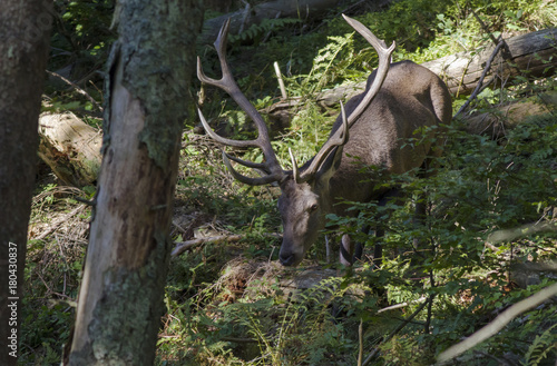 Fotobehang Hert .European red deer stag roaring in a clearing in a wood during the rutting season. Red deer roaring. Red deer - Rutting season