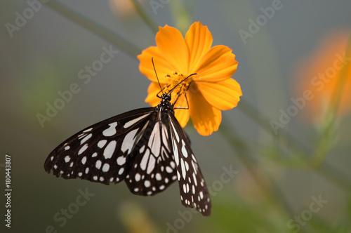 Fotobehang Vlinder Butterfly on Cosmos Flower