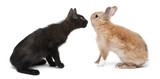 Black kitten face to face with rabbit in front of white background