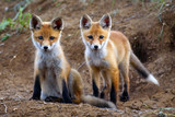 two Fox standing near the hole and looking at the camera - 180451098