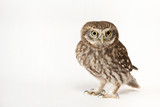 Little Owl (Athene noctua) standing in front of a white background - 180451280