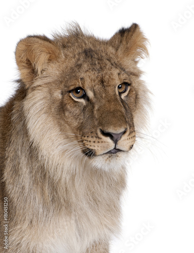 Lion, Panthera leo, 9 months old, in front of a white background, studio shot Poster