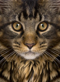 Close-up of Maine Coon's face with whiskers, 7 months old - 180451472
