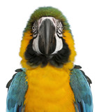Portrait of Blue and Yellow Macaw, Ara Ararauna, in front of white background - 180452436