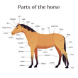 Vector illustration of parts of the horse. Equine anatomy and structure
