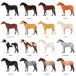 Vector collection of various horse coats colors - black, bay, chestnut, palomino, cremello, buckskin, dapple gray, pinto, roan. Most common equine colors set - 180457898