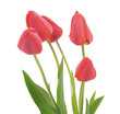 Red tulips. - 180467070