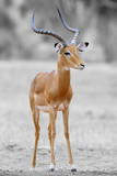 Black and white photography with color impala - 180473688