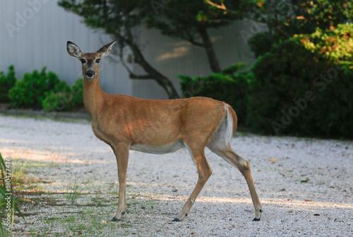 Fotobehang Hert Whitetailed Deer in Suburban Landscape
