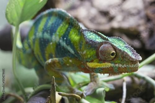 Fotobehang Kameleon Chamäleon 1