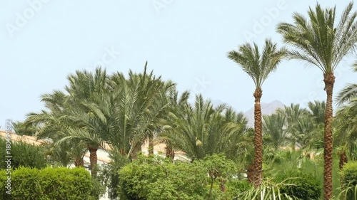 Tropical palm trees and green bushes and trees in the wind under blue sky with mountains in background. Green oasis in the middle of the desert. Pensive and serene nature scene.