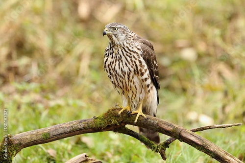 Birds of prey - Young northern goshawk (Accipiter gentilis) Poster