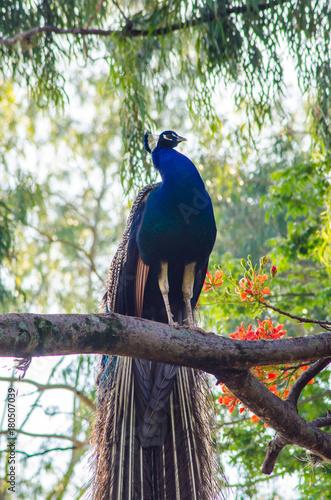 Fotobehang Pauw As cores do pavão