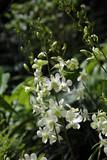 Fototapety Orchideen-Hybride Dendrobium Shavin White