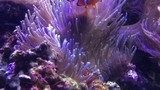 Couple of Ocellaris clownfish nestled in a magnificent sea anemone. - 180513230