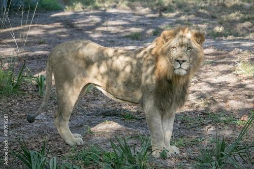Fotobehang Lion Standing Lion