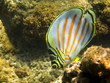 Striped Butterfly Tropical Fish Underwater Close Up
