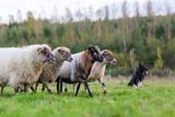 pack of sheep with an Australian Shepherd dog - 180519826