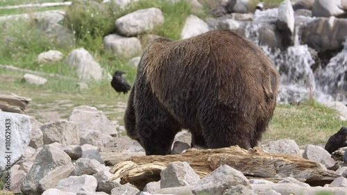 Poster Grizzly bear scavenging in rocks and looking back at raven sitting on rock.