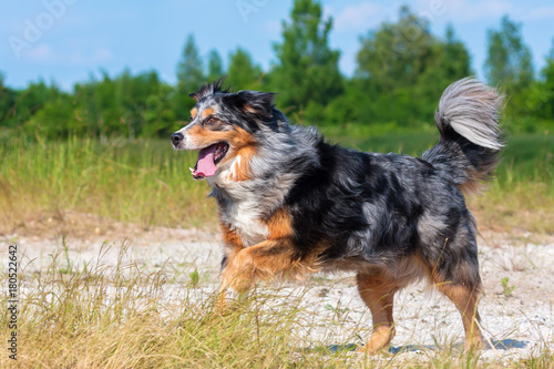 Australian Shepherd dog runs outdoors Poster