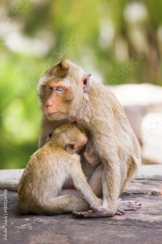 Fotobehang Aap baby monkey eating milk from mother's breast