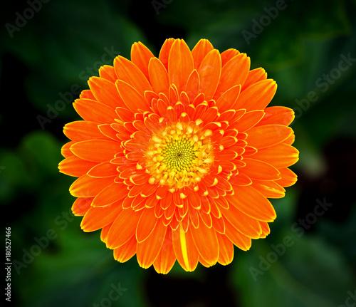 Fotobehang Gerbera Beautiful gerbera flower in garden
